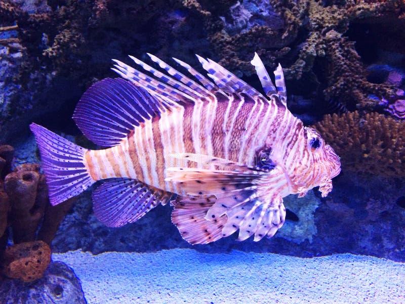 Grands poissons de lion dans un aquarium photos libres de droits