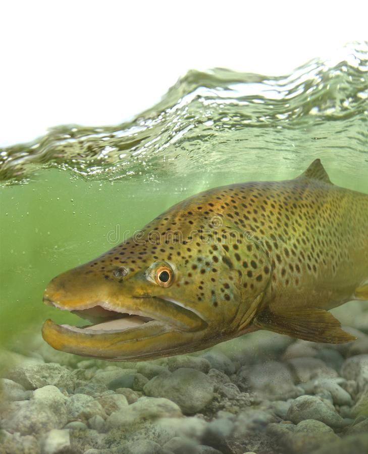 Grands poissons de truite brune dans le courant photos stock