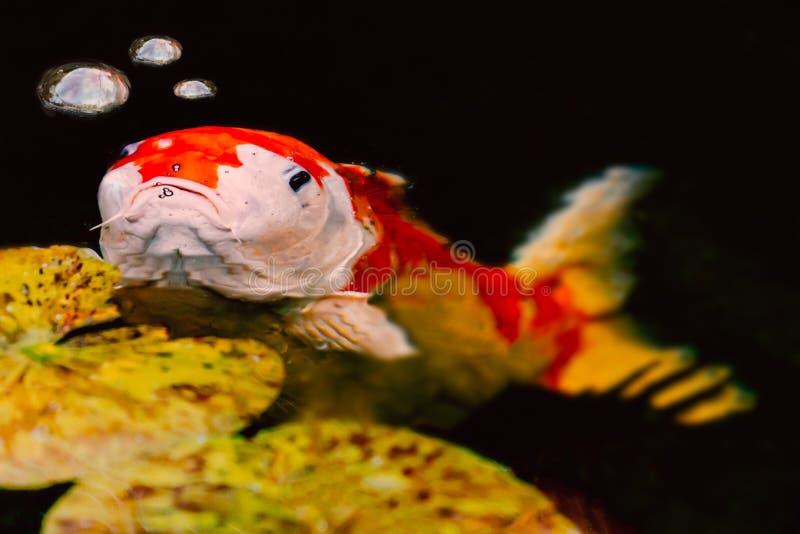 Grands poissons semblants grincheux de carpe de koi avec trois bulles de l'eau photo stock