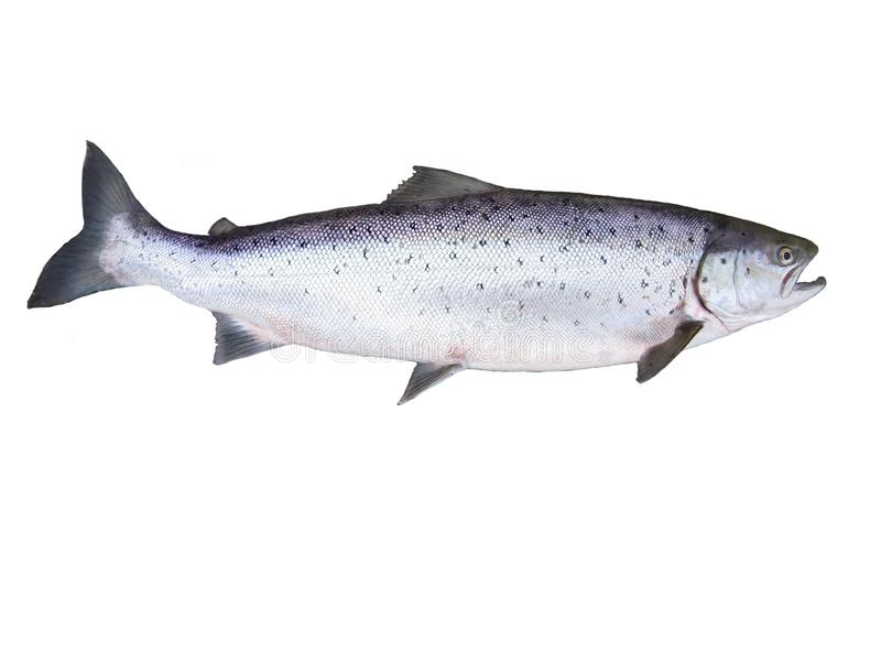 Grands saumons image libre de droits