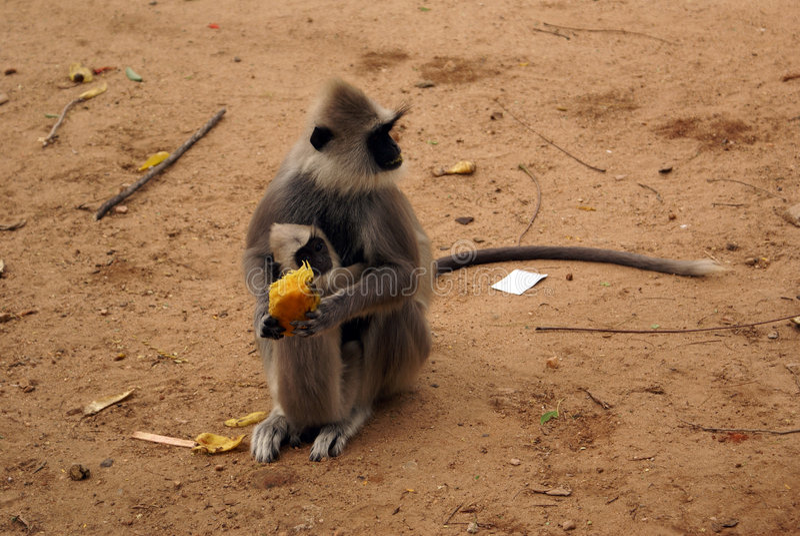 Grands singe et chéri photos stock