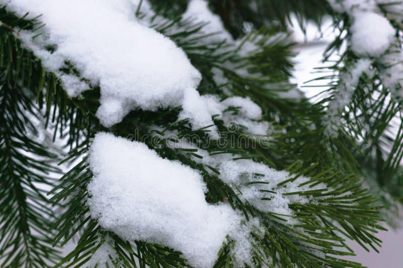 Granen f?rgrena sig under locket av sn? arkivfoton