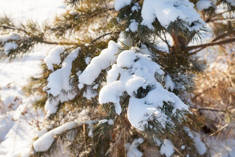 granen f?rgrena sig under sn?n royaltyfri fotografi