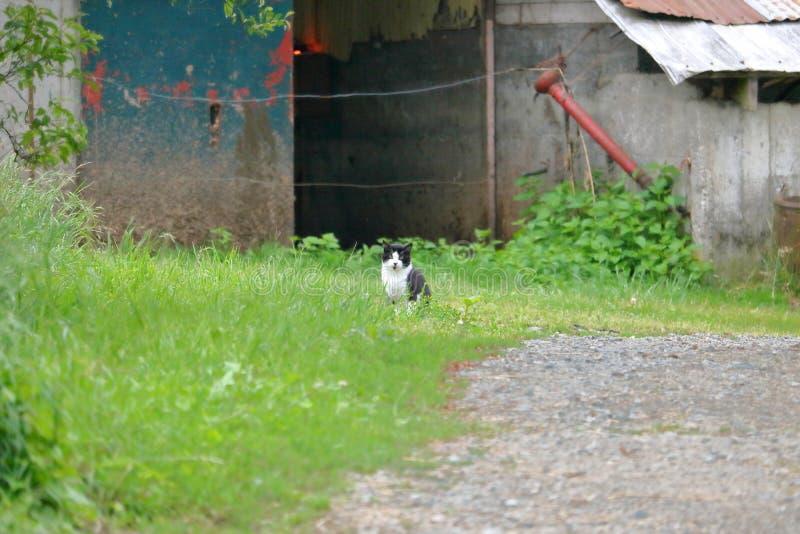 Granero Cat Hunting para los ratones fotografía de archivo