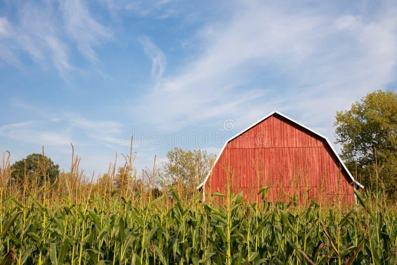 Granero rojo detrás del maíz alto con el cielo azul foto de archivo libre de regalías