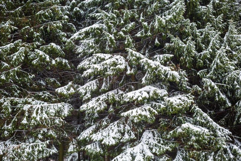 Granfilialer med snow fotografering för bildbyråer