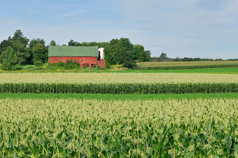 Grange dans le champ de maïs image stock