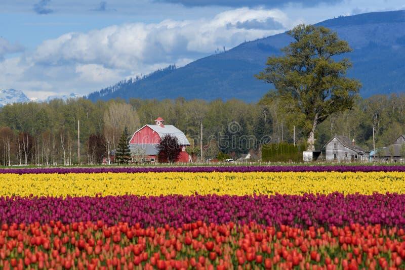Grange derri?re un champ de tulipe photos stock