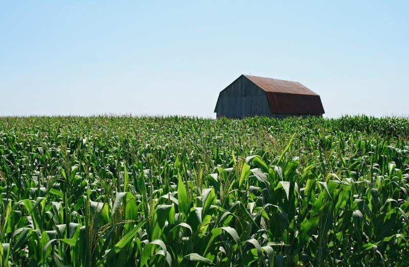 Grange en bois dans le champ de maïs vert photos stock