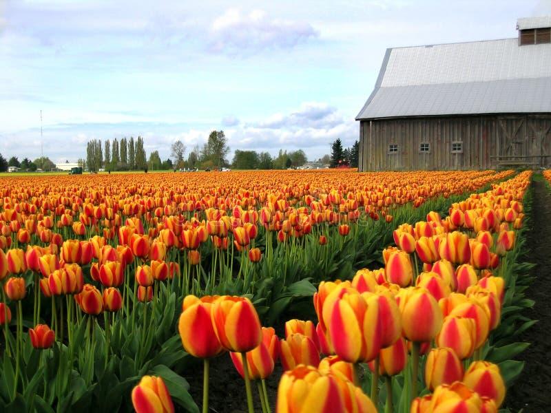 Grange et horizon de tulipe photographie stock