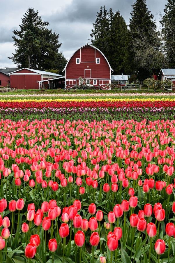 Grange et Tulip Field photographie stock libre de droits