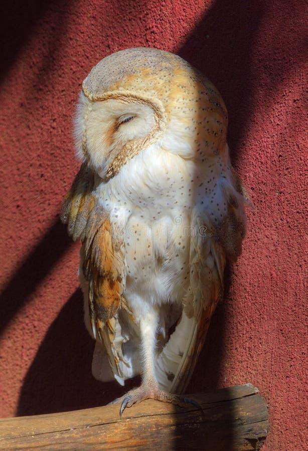Grange Owl Asleep à la nuance fraîche image libre de droits