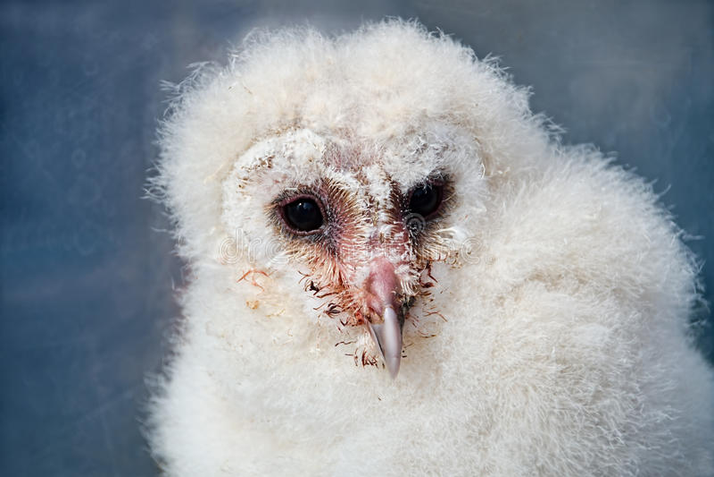 Grange Owl Chick images stock
