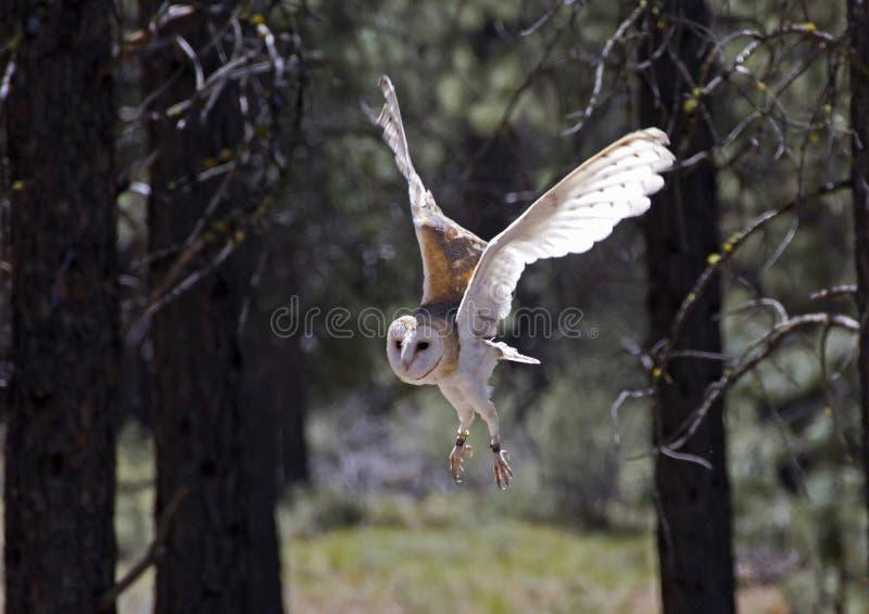 Grange Owl In Flight dans la forêt photos libres de droits