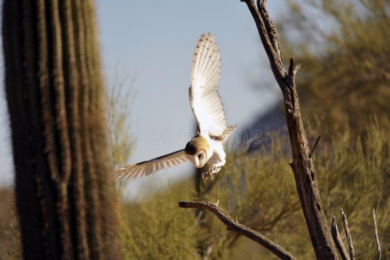 Grange Owl Landing photo libre de droits