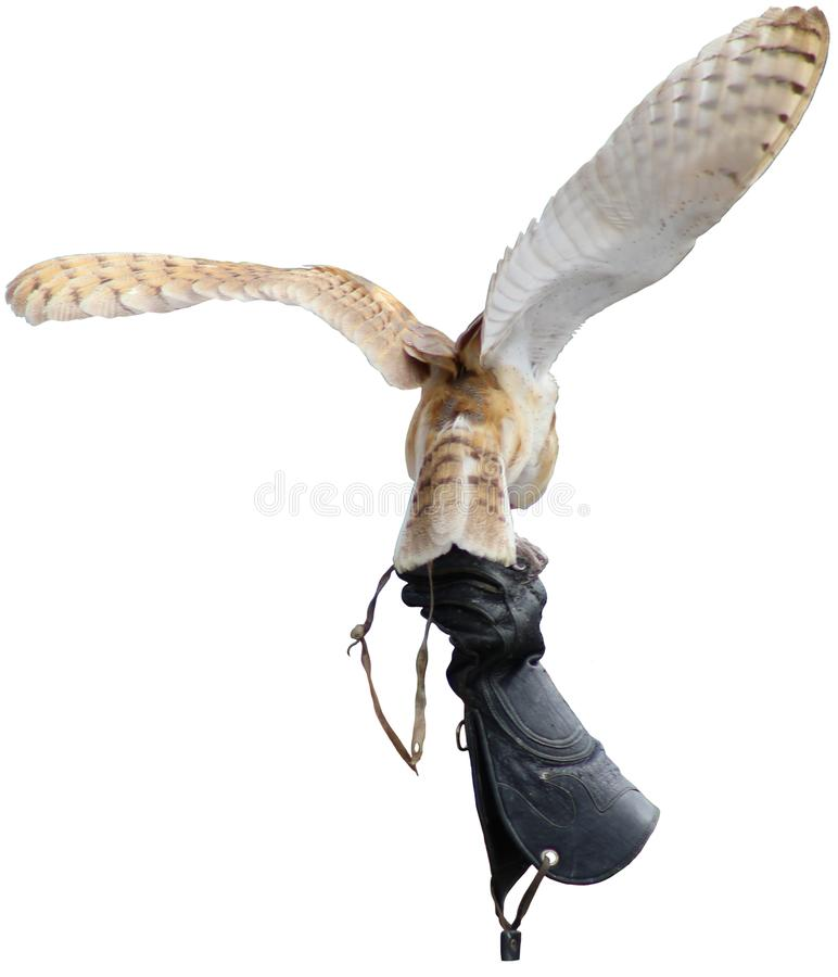 Grange Owl Landing sur un gant image stock