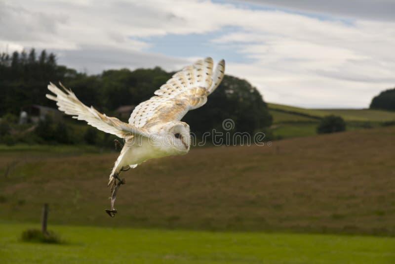 Grange Owl Tyto alba en vol photographie stock libre de droits