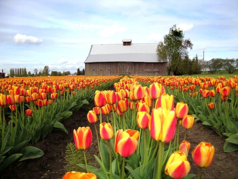Grange, tulipes, et ciel photographie stock libre de droits