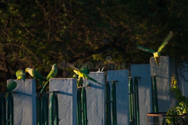 Grani alimentantesi di Rose Ringed Parakeets nel corso della mattinata fotografia stock