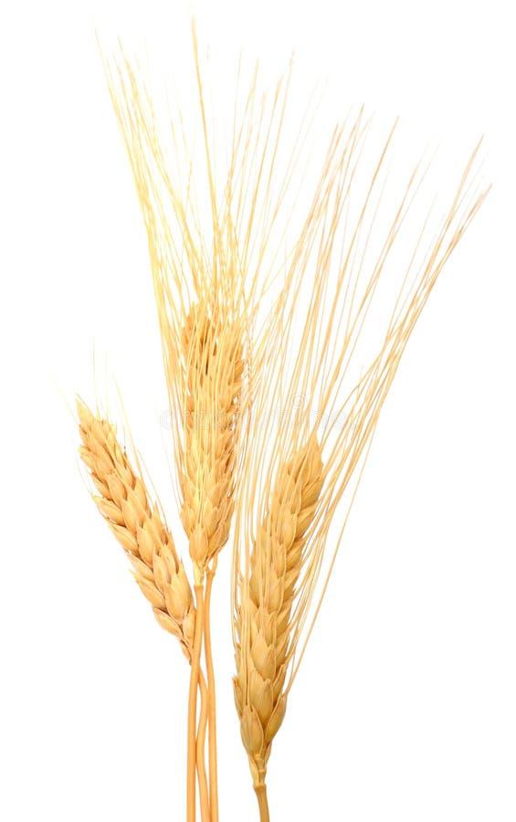 Grani asciutti del grano immagini stock