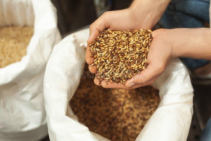 Grani d'esame del luppolo del fabbricante di birra nella borsa fotografia stock