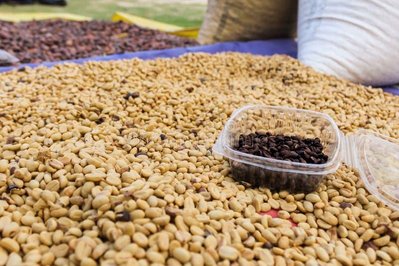 Grani di caffè, piantagioni dalla sierra Nevado, Colombia fotografia stock