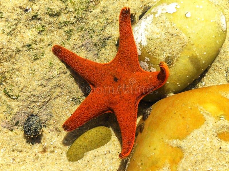 Granifera de Patiria - estrella de mar roja imágenes de archivo libres de regalías