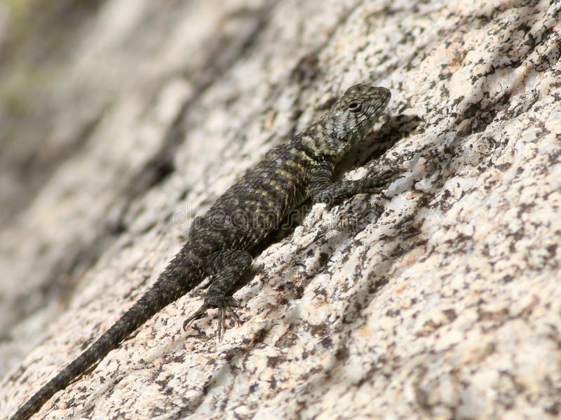 Granite Spiny Lizard on Granite. A Granite Spiny Lizard in the Anza-Borrego Desert in Southern California royalty free stock photos