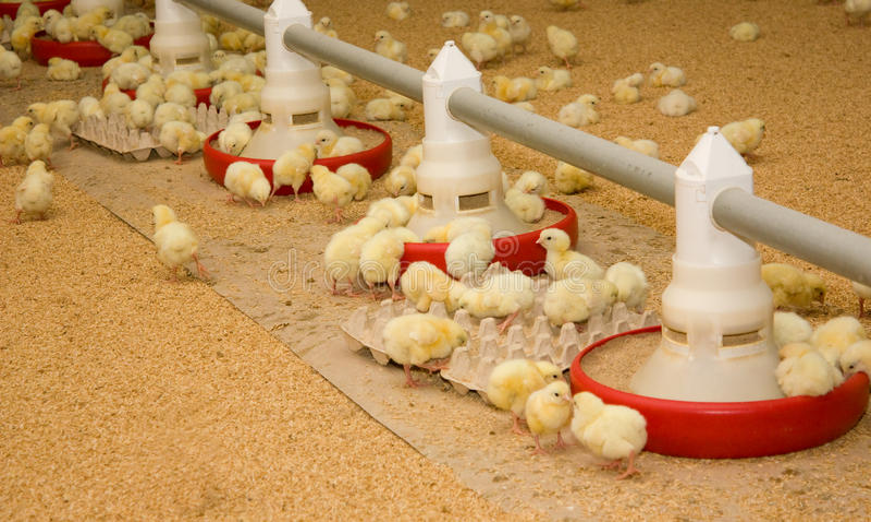 Granja avícola foto de archivo