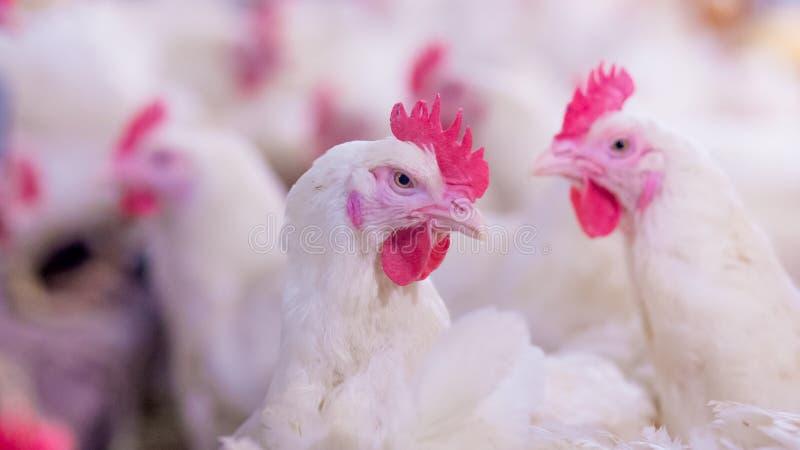 Granja avícola con el pollo del criador de la parrilla foto de archivo libre de regalías