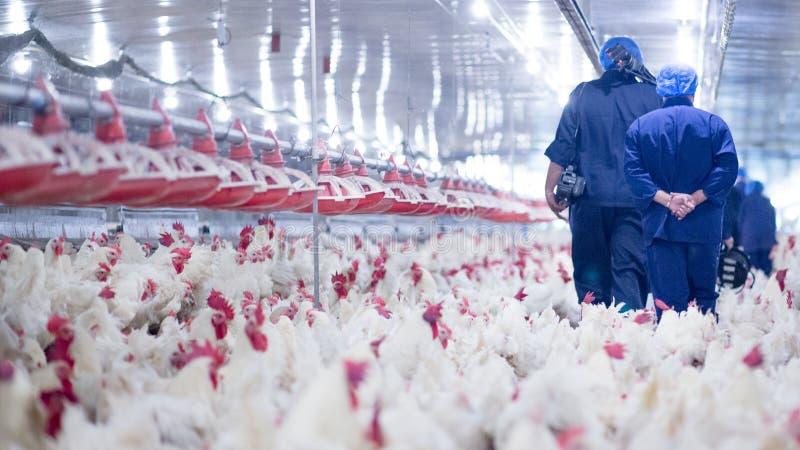 Granja avícola con el pollo del criador de la parrilla fotos de archivo libres de regalías