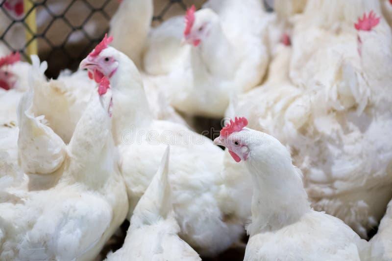 Granja avícola con el pollo del criador de la parrilla foto de archivo