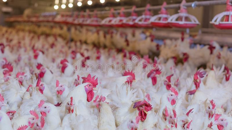 Granja avícola con el pollo del criador de la parrilla fotografía de archivo libre de regalías