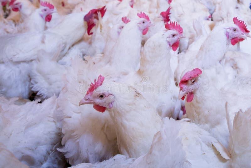 Granja avícola con el pollo del criador de la parrilla fotos de archivo