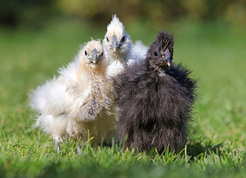 Granja china de seda del pollo bio, al aire libre fotos de archivo