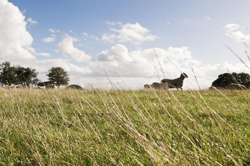 Granja con las ovejas que pastan en campo británico imagen de archivo