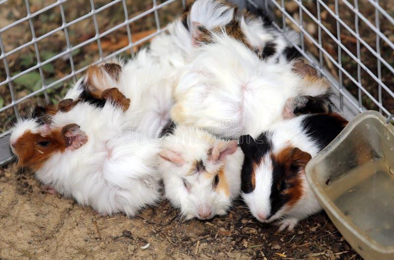 Granja con una jaula del metal con muchos conejos jovenes fotografía de archivo libre de regalías