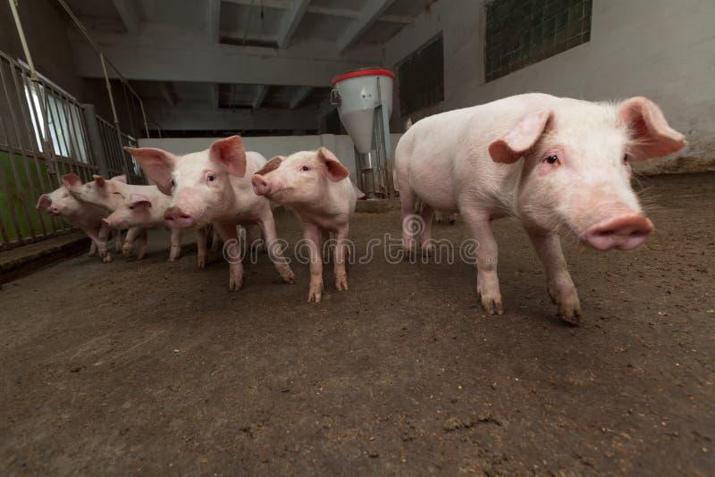 Granja de cerdo fotos de archivo