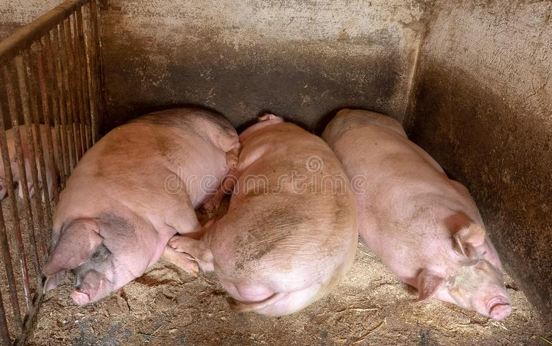 Granja de cerdo en campo imagen de archivo