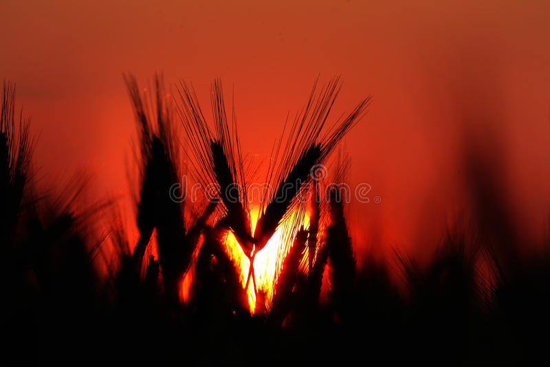Granja de la agricultura - cultivos en campo de trigo en puesta del sol imagen de archivo