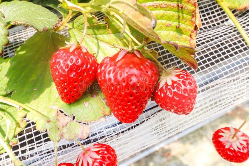Granja de la ejecución de tres fresas por completo de fresas maduras en granja de la fresa fotografía de archivo libre de regalías