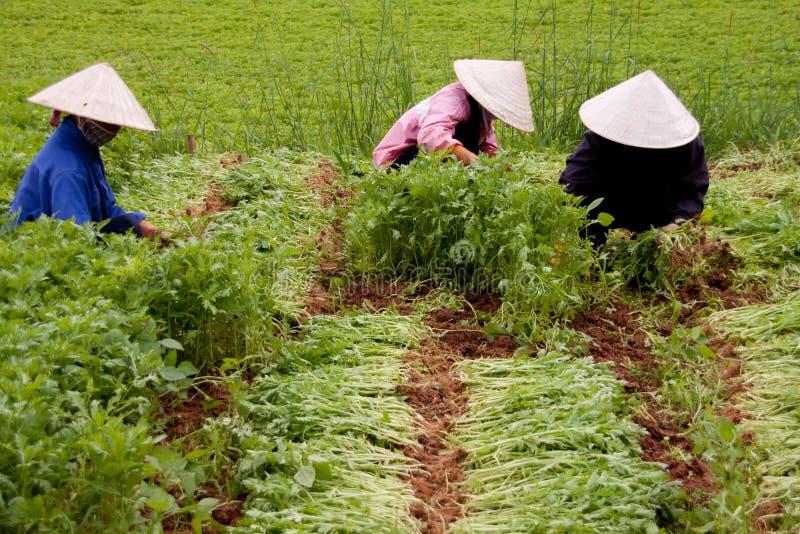 Granja de la espinaca en Vietnam imagen de archivo libre de regalías