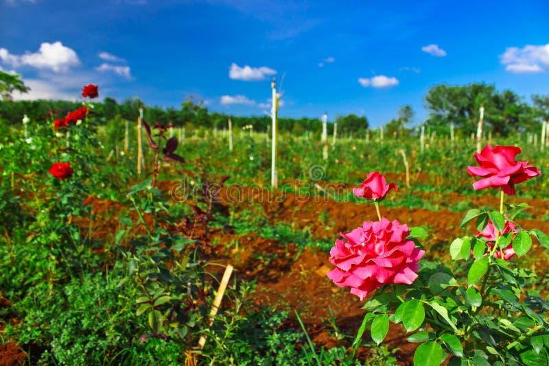 Granja de la rosa del rosa en industria agrícola imágenes de archivo libres de regalías