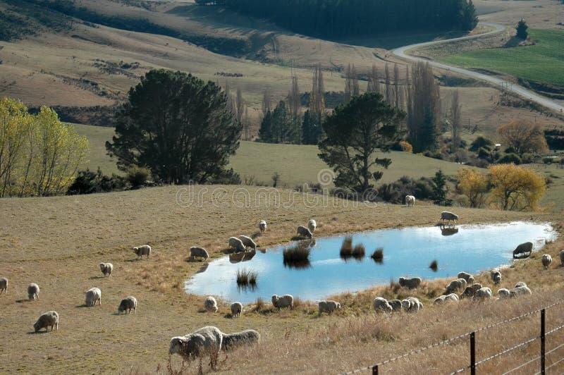 Granja de las ovejas - charca en caída foto de archivo libre de regalías