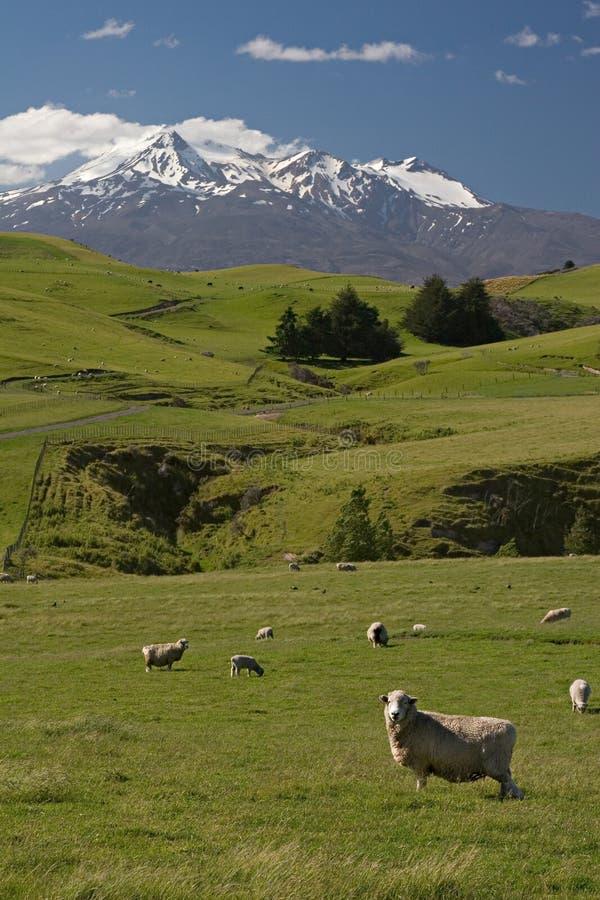 Granja de las ovejas de Nueva Zelandia foto de archivo