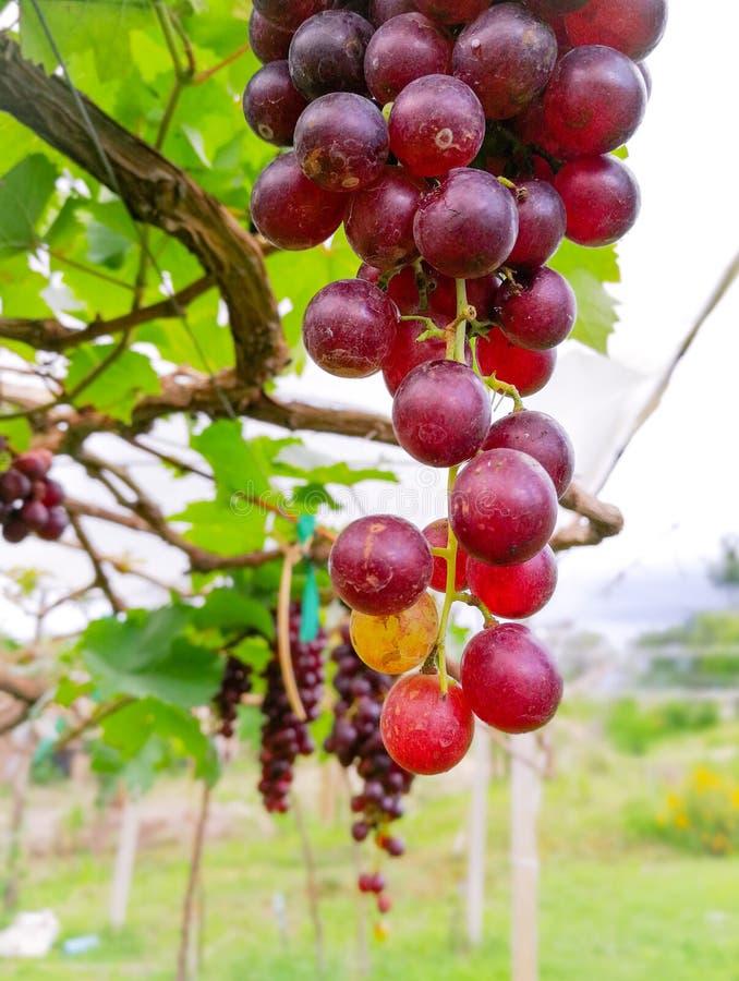 Granja de las uvas imagen de archivo