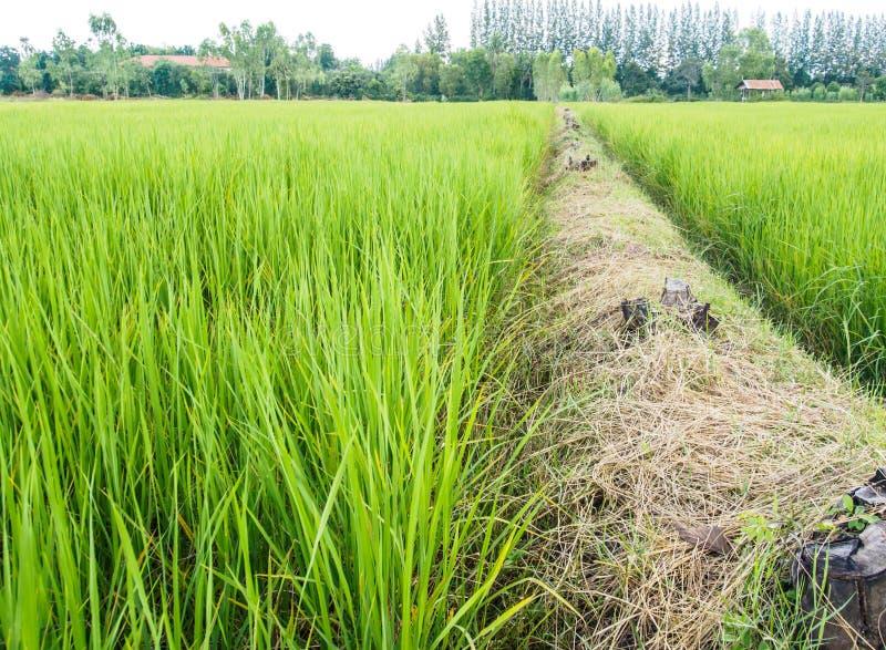 Granja de Ridge y del arroz imágenes de archivo libres de regalías