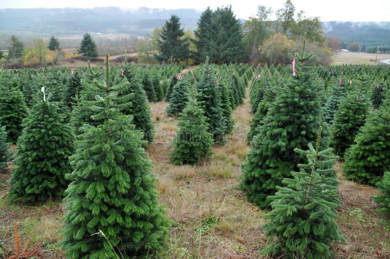 Granja del árbol de navidad foto de archivo libre de regalías