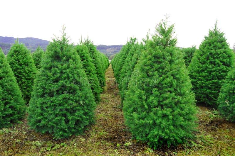 Granja del árbol de navidad de Oregon imagen de archivo libre de regalías