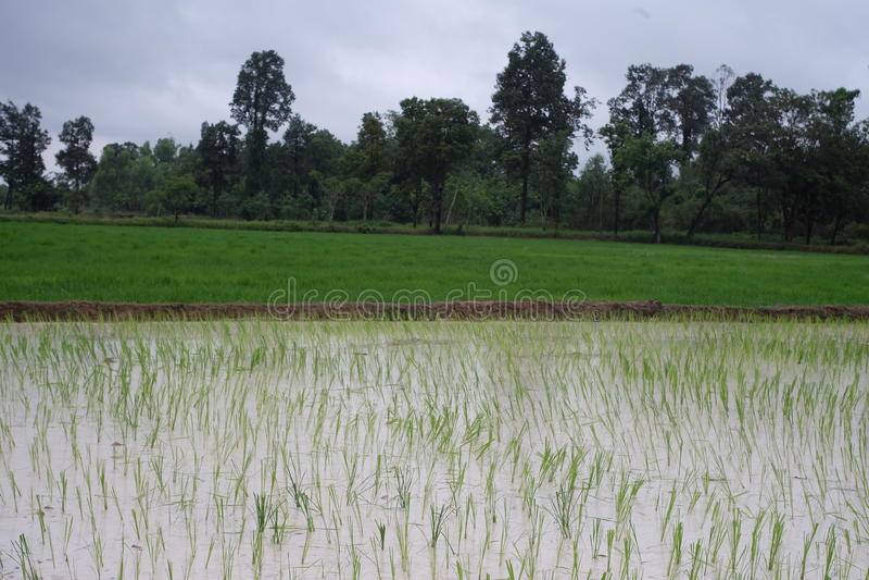 Granja del arroz en rural de Tailandia imagenes de archivo